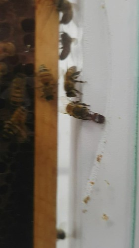 Small hive beetle fed by honey bee