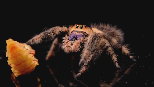A Jumping Spider and her Mealworm Boyfriend: Season 2 (Tragedy Strikes). The female spider is devastated to awaken one morning to find her mealworm boyfriend turning into a monster! (shot 5/1/2019)