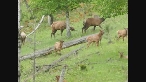 Video of elk herd with cavorting young elk