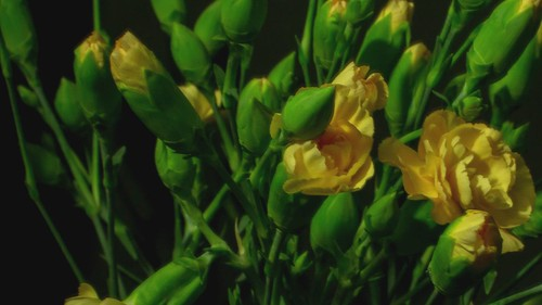Time lapse : A few yellow flowers