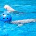 Marineland - Beluga Whales -1