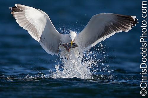 Great-Black-Backed-Gull-Larus-marinus-goeland-marin-emerging-with-fish-GBBG-CDODDS- _E3G0125