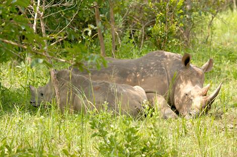 Female White  Rhino with baby at Ziwa Camp Uganda