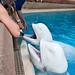 Marineland - Beluga Whales -12