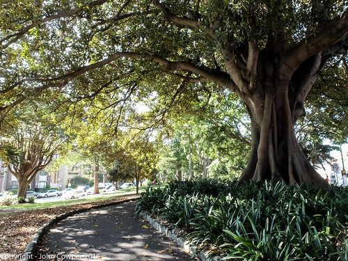Morteon Bay Fig - Gilbert Park - Manly