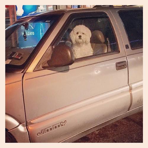 #dogsofinstagram #dogthatdrives #astoria #pooch 🐶 #queens #nyclife #chevy #jimmy #doubleparkeddog #gonetodogs #Uberdog 🐾🚙 #useyourblinker 🚘🚨