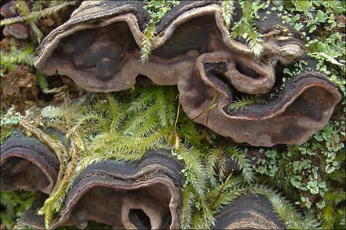 Chondrostereum-purpureum_12