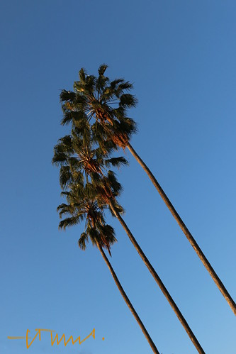 Slender Mexican Fan Palm Trees under Blue Sky, San Salvador