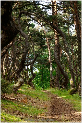 Kronkelbomen op Mont Denise