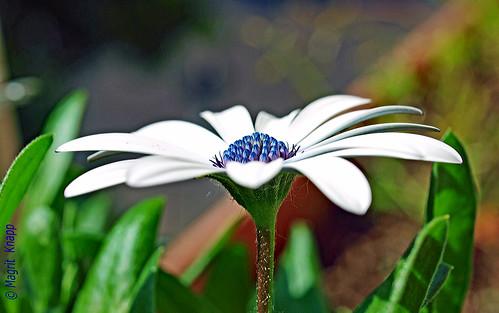 Variation: Ein Korbblütler mit dem Namen:  Osteospermum ecklonis