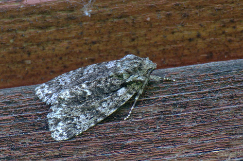 Haava-noolöölane; Subacronicta megacephala; Poplar Grey; haapayökkönen