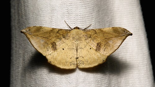 Geometrid Moth (Dalima calamina, Ennominae, Geometridae)