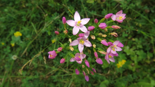 Centaurium erythraea, zeměžluč okolíkatá, Travná