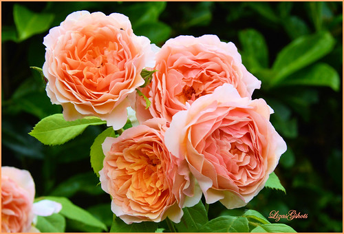 Oh, their Perfume is Divine!! The Lady Gardener Rose!!!