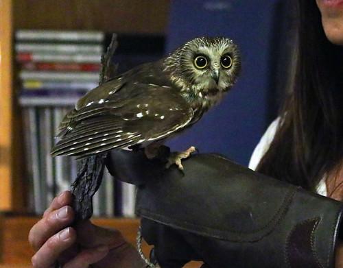 IMG_8906 - Saroo - Northern Saw Whet Owl