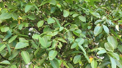 Common walnut - leaves - September 2018