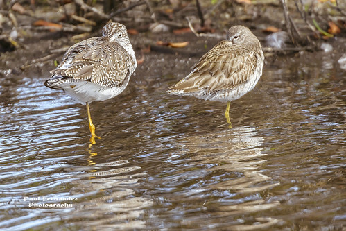 Yellowlegs Resting at Merritt Island NWR, Florida