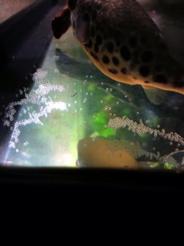Tetraodon schoutedeni puffer