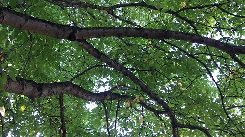 Common walnut - branches & leaves - September 2018