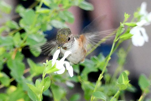 Rufous/Allen's Hummingbird in the Wild in San Diego, California