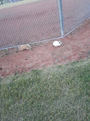 FOUND: 2 Bunnies in #PINERIDGE by #ST_PATRICKS_SCHOOL. One cream, one orange. Please RT & Share lets find the owners YYC Pet Recovery shared Keisha Sweeney's post. Did anyones bunnies escape? I found two younger bunnies in a field. One is a white cream co