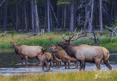 Male Elk and his family