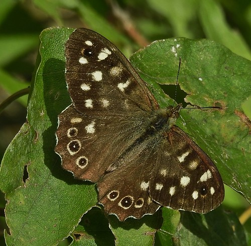 Speckled Wood at WWT Llanelli Nature Reserve in Wales, UK - August 2017
