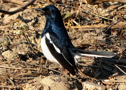 Oriental Magpie Robin ♂ - Keoladeo National Park
