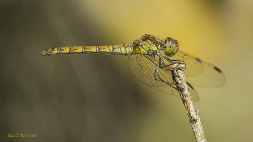 Sympetrum striolatum. Female
