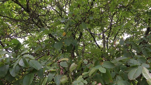 Common walnut - branches & leaves - October 2018