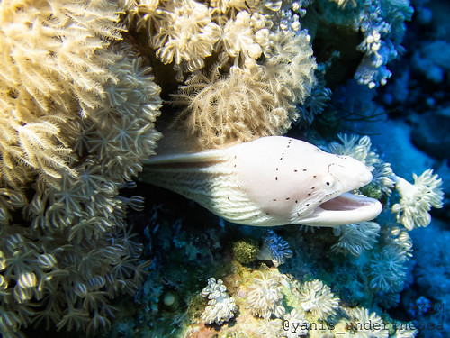 White moray eel