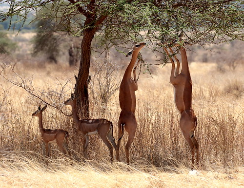 Two female Gerenuks (Litocranius walleri), demonstrate their unique ability to browse the lower branches of trees by standing on their hind legs and stretching their unusually long necks