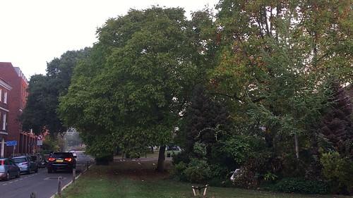 Common walnut - tree - October 2018