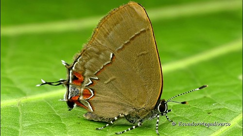 Hairstreak butterfly with striped socks and a false head