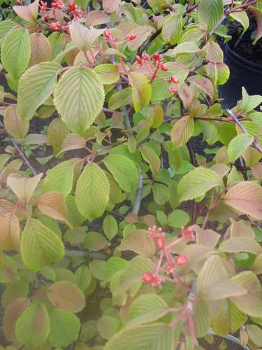 Viburnum plicatum tomentosum 'Shasta' (Shasta Viburnum)
