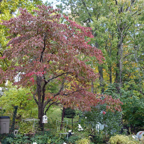 09 Fall Color:  Fire in the Trees/ Marilyn's Place - a Fall Walk Through 17 A Magnificent  Dogwood