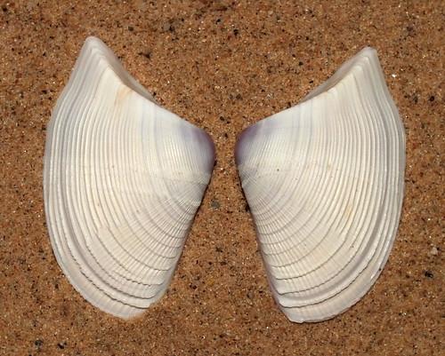 Leather bean clam (Donax scortum)