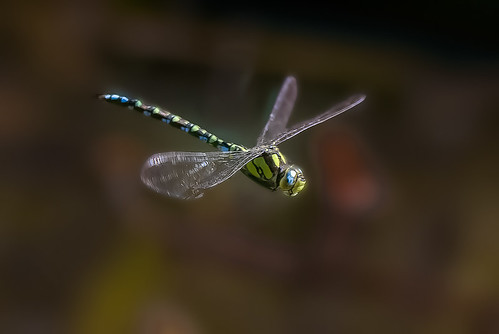 Southern Hawker (?)