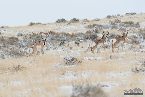 Pronghorn Stare