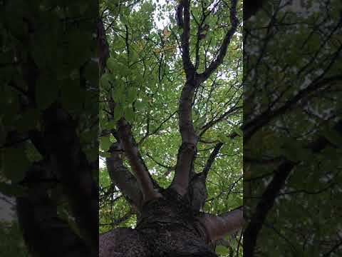 Common walnut - canopy - October 2018