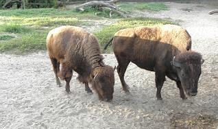 PLAINS AMERICAN BISON (Bison bison bison) ........... BISONTE AMERICANO DE PLANICIE ~ original=(3968 x 2347)