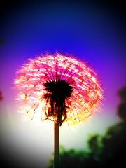 Dandelion Fireworks-PHOTO 183-The halfway mark