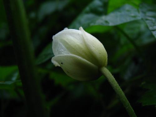 Anemone (Honorine Jobert)/
