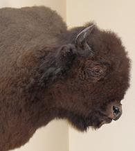 PLAINS AMERICAN BISON (Bison bison bison) ........... BISONTE AMERICANO DE PLANICIE - original= (2564 x 2875)