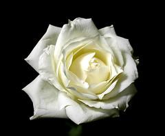 rosa branca.jpg por Leonardo Almeida