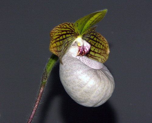 seen at the 2007 pacific orchid exposition, Paphiopedilum Fanaticum Jae Hong