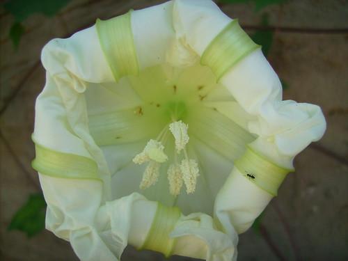 Close-up Ipomoea Tricolor