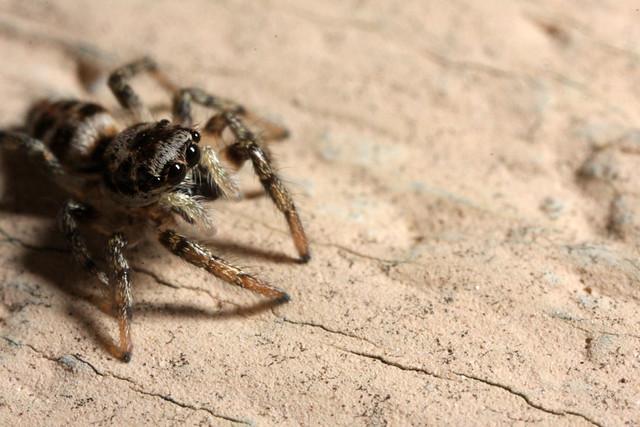 Zebra Spider (Salticus scenicus) juvenile