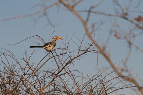 pío, pío en Timbavati Game Reserve