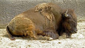 PLAINS AMERICAN BISON .... (Bison bison bison) ...... BISONTE AMERICANO DE PLANICIE ~ original=(3589 x 2043)